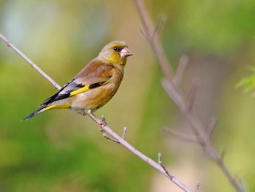 金翅雀怎么驯养?金翅雀驯养窍门